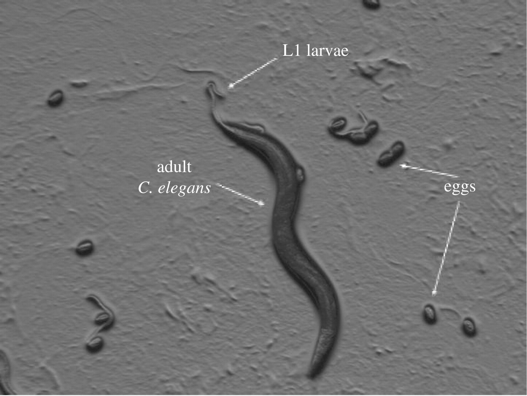 Caenorhabditis elegans : What We Can and Cannot Learn from ...
