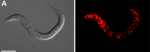 """Figure 4: """"Crooked-head"""" C. elegans http://www.biomedsearch.com/nih/Atypical-Calpains-Evolutionary-Analyses-Roles/22479198.html"""